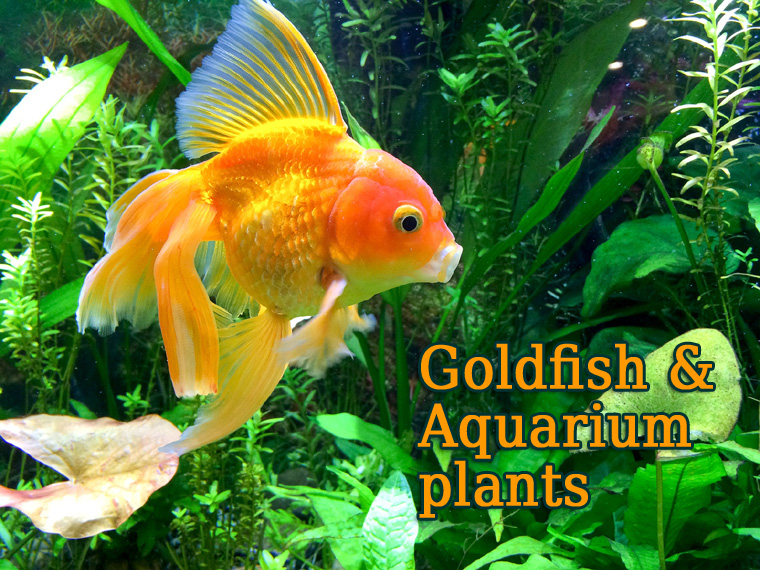 goldfish plants